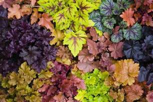 Kitchen And Breakfast Room Design Ideas How To Grow Heuchera Organically