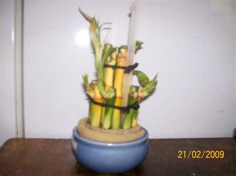 Mon Bambou Devient Jaune by Tige Bambou Devient Jaune
