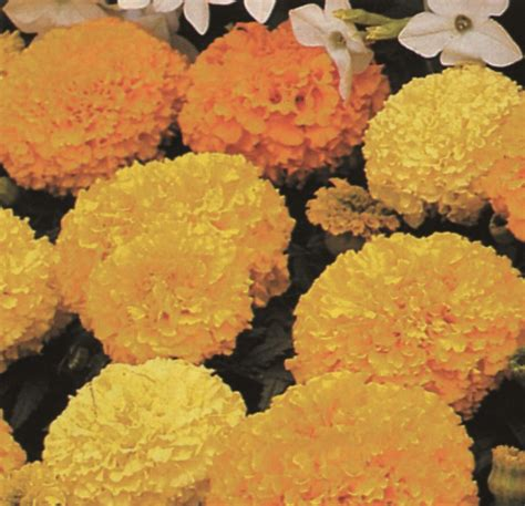 Country Value Marigold Mixed marigold citrus bedding mix what can i sow this autumn seeds nz ltd