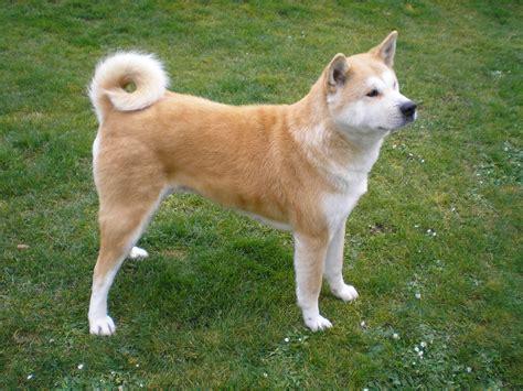 akita dogs fawn colors akita inu photo and wallpaper beautiful fawn colors akita inu pictures