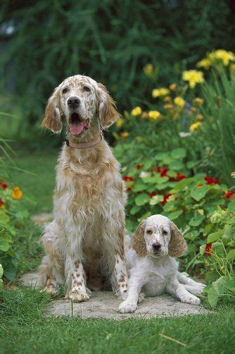 english setter therapy dog 1000 images about setters on pinterest pets irish
