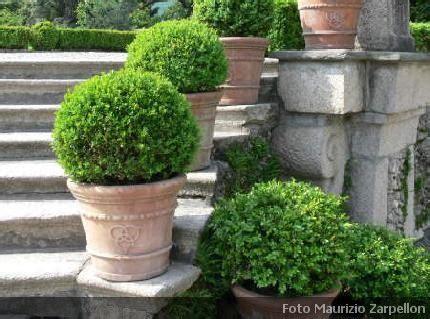 pino nano in vaso alba vivai alba cuneo piante ornamentali
