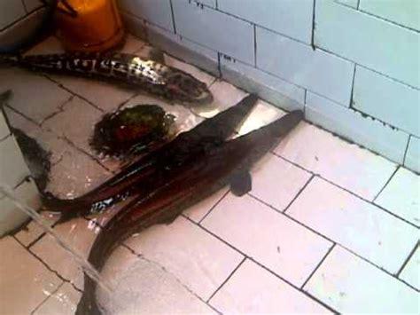 Umpan Pancing Sintetis ikan aligator makan belut doovi