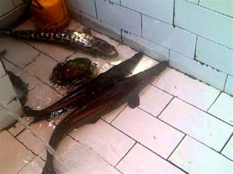alligator spatula