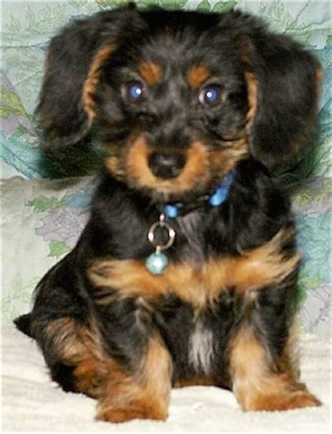 yorkie weiner mix dorkie breed information and pictures