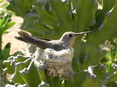 hummingbird on nest hummingbird facts and information