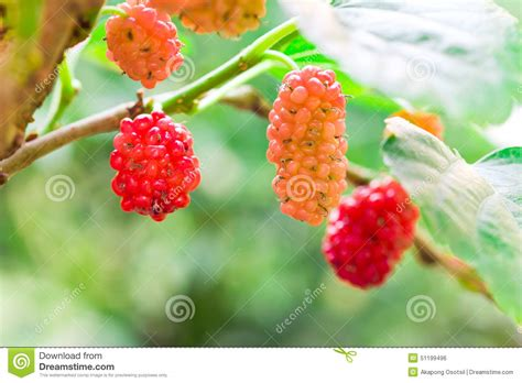 mulberry tree no fruit mulberry fruit on tree stock photo image 51199496