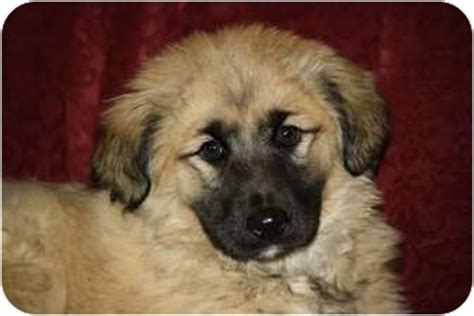 keeshond golden retriever mix hold adopted puppy west milford nj golden retriever keeshond mix