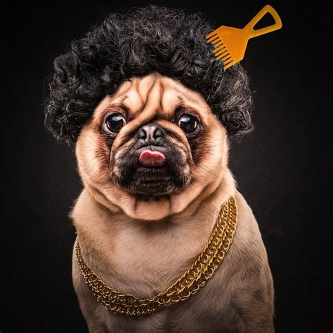lifespan for pugs the pug adorable portraits of lovable pugs dressed as hip hop artists