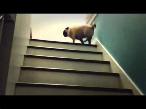 pug hopping up stairs look at this pug hopping up the stairs like a bunny