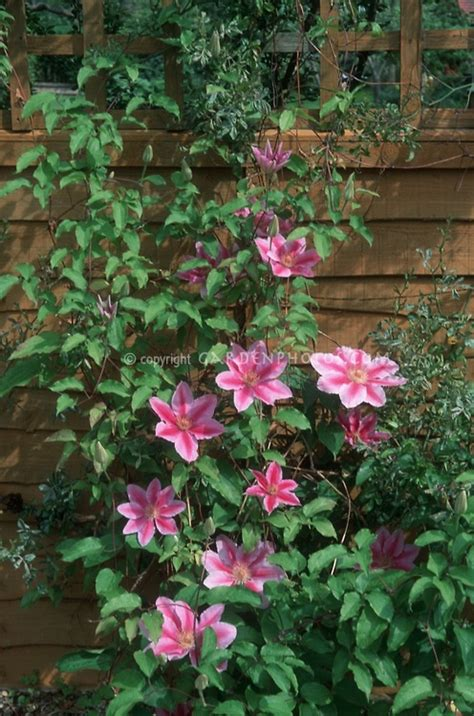 pin by catherine on clematis vines - Pink Flowering Climbing Plants