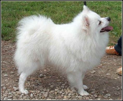 small white fluffy breeds small white dogs breeds pet photos gallery lk2lg6kkey