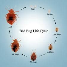 how do bed bugs start bedbug5567 detection and treatment of bed bugs