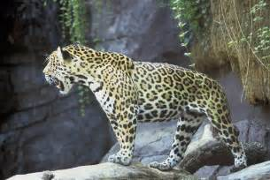 Are Jaguars Endangered Species Endanger Species In The Rainforest