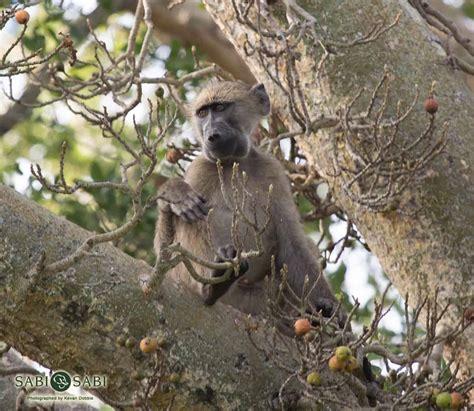 chacma baboon sabi sabi private game reserve blog