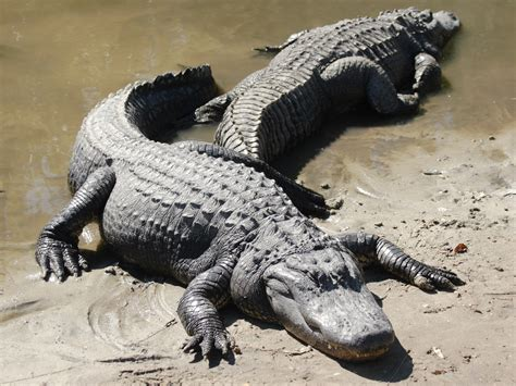 Fairy Twins Book Time: Alligators and Crocodiles Preschool ...