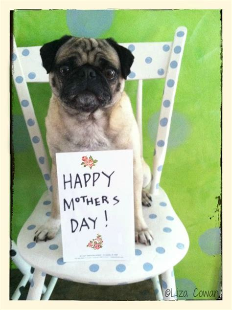 happy pug day 2455 best images about pug dose of deadly cuteness on pug humor pug