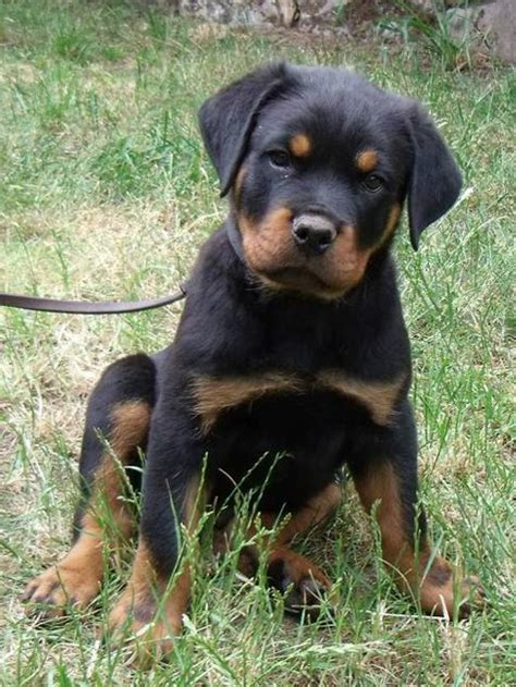 rottweiler ohio german rottweiler for sale in ohio dogs in our photo