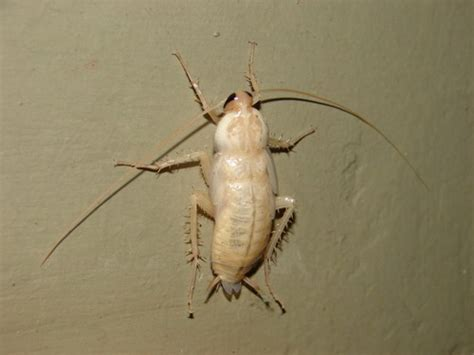 Do Cockroaches Shed by Photos Of White Cockroach Boing Boing