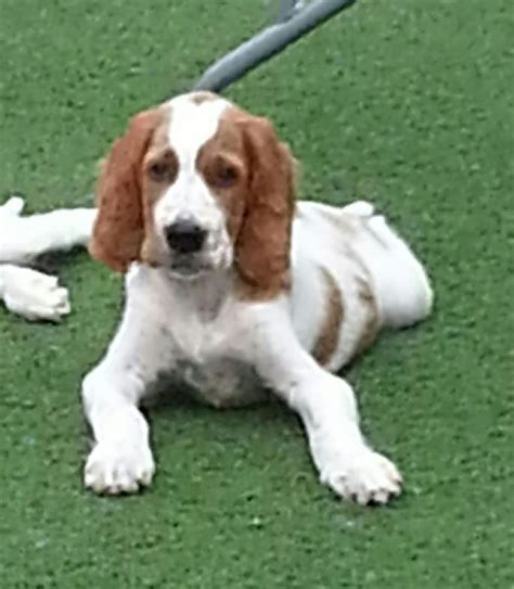 irish red and white setter dogs for sale irish red and white setter pups melton mowbray