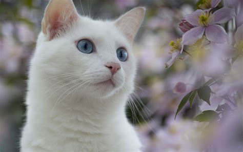 the white cat and white cat with blue eyes 26605 jpg wallpapers litle pups