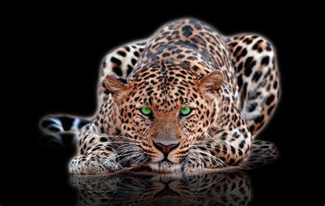 imagenes de jaguar para descargar fondo escritorio leopardo