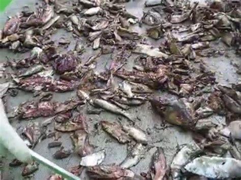 Mem Pakan Larva Ikan pembuatan pelet ikan funnycat tv