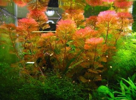 cabomba piauhiensis plante d aquarium en bouquet plantes d aquarium plantes hautes d arriere