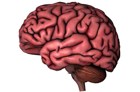 Brains Not human brain on white background the observation deck