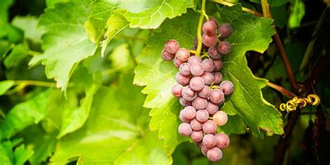 1000 images about grapes on pinterest training fruit and university of florida