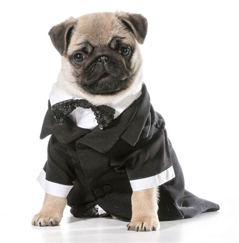 pug tuxedo a bought a tuxedo and bracelet with money bt