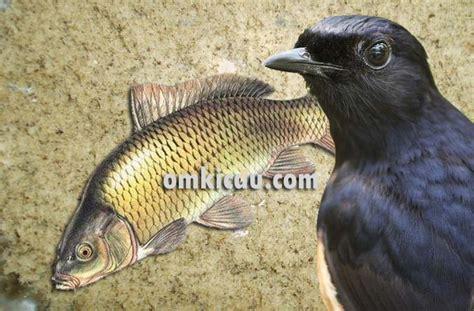 Ikan Cere Laut membuat tepung ikan untuk burung kicauan om kicau