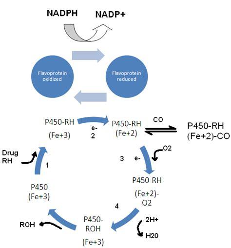 Catabolic Phase Detox by Biotransformation Of Xenobiotics Howmed