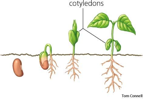 cotyledon dictionary definition cotyledon defined