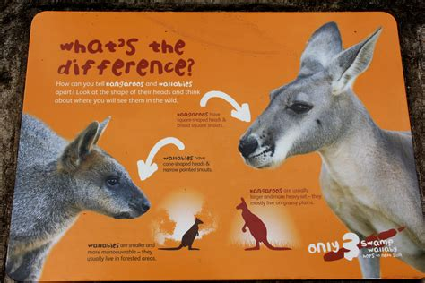 kangaroo and wallaby vs kangaroo related keywords wallaby vs kangaroo keywords keywordsking