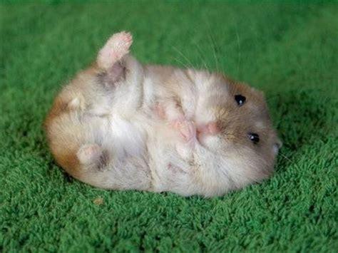 guinea pig pine bedding leatherette cushion swivel