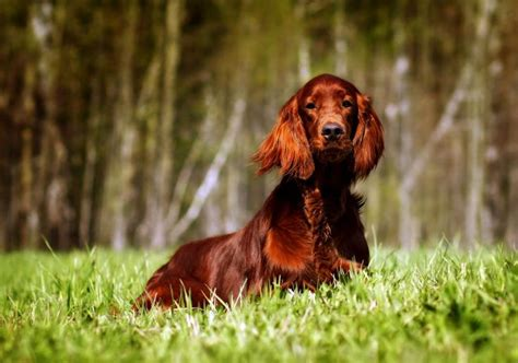 red setter dog temperament the irish setter a stunning redhead and much more than