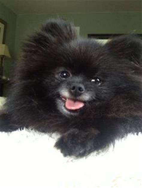 Ketz Zeus wallpapers black spitz puppy black pomeranian