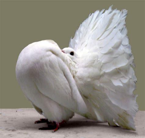 Daftar Harga Pakan Burung Fancy bisnis ternak merpati hias white wings
