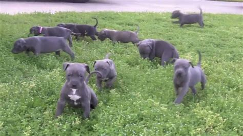 How Much Are Pits blue pitbull puppies