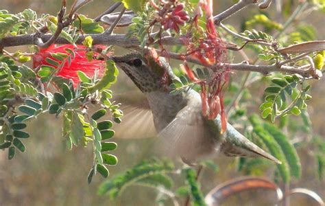 hummingbird habitat at desert breeze park
