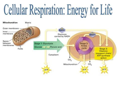 cell energy photosynthesis and respiration section 6 1 answers cellular respiration is the process in which the solar