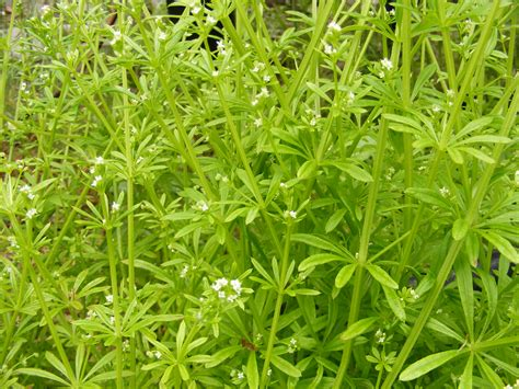 Random Plant Cleavers Stickywilly Catchweed Bedstraw