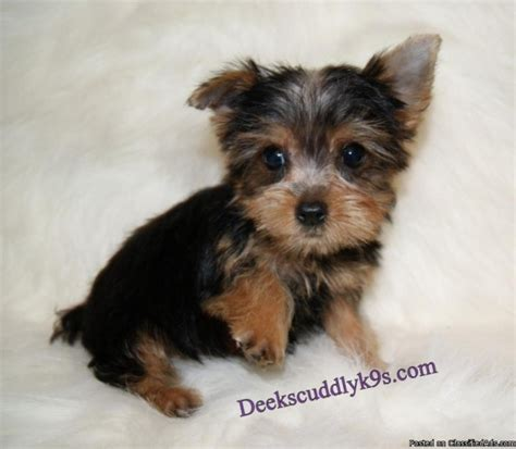 yorkie prices akc yorkie puppy price 450 in nacogdoches cannonads