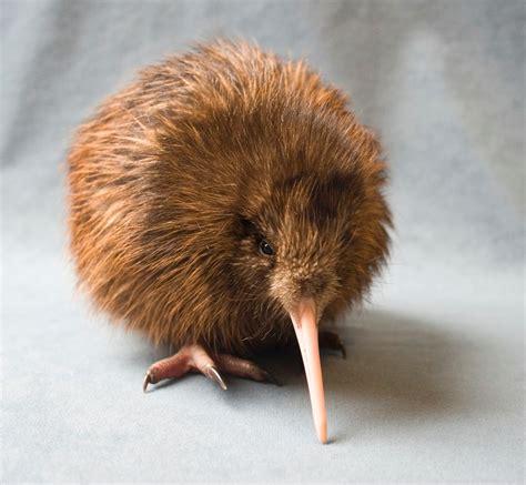imagenes de memes de kiwi fotos de kiwis taringa