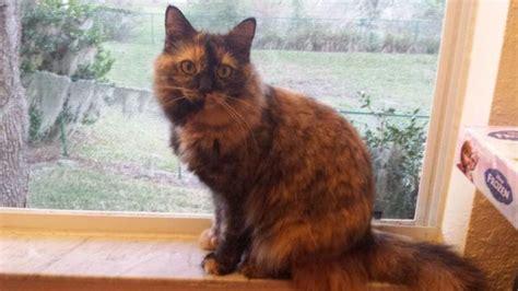 female calico cat  sale  brooksville florida