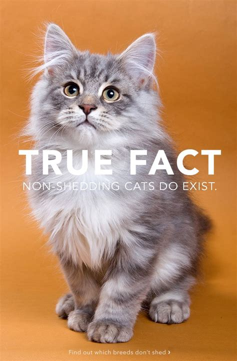 Cat Shedding Solutions 25 best ideas about non shedding cats on non