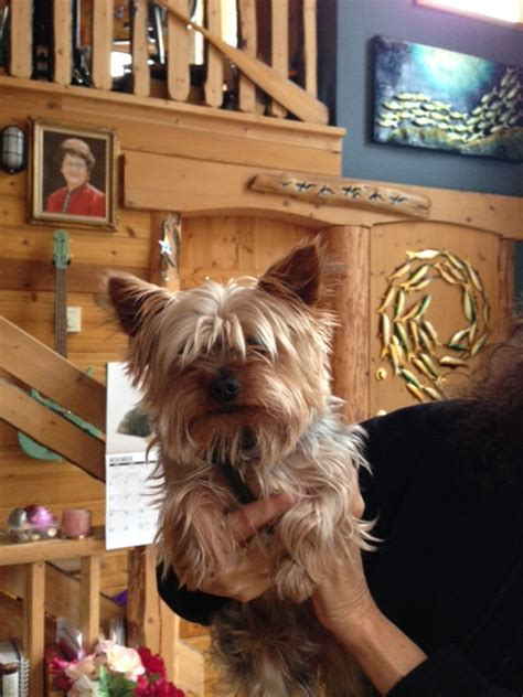 how big is a yorkies stomach yorkiepoo puppies home