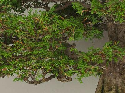 common tree species   bonsai bonsai empire