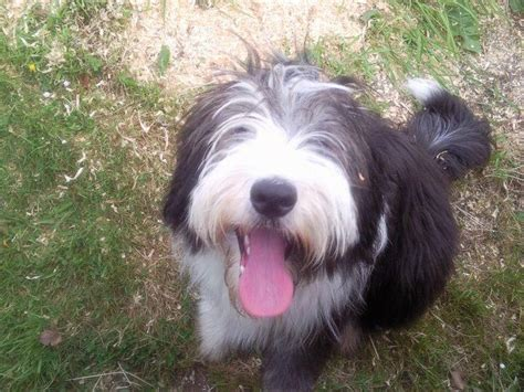 bearded collie puppies bearded collie breed is this breed right for you pedigreedogs ie